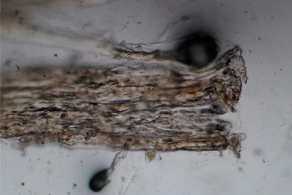 Eine Faserprobe (tierische Sehne) unter dem Mikroskop (© Landesmuseum Württemberg, Foto: Sabrina Kunz, CC BY-SA)