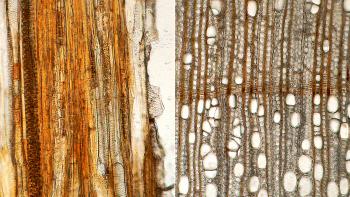 Permalink zu:Sieht doch alles gleich aus? Holzanatomische Bestimmung von Mikroschnitten